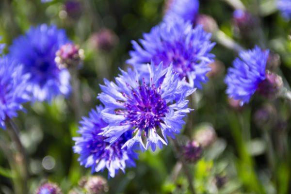 ドイツ国花ヤグルマギク